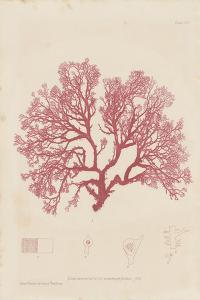 Sphaerococcus by Henry Bradbury
