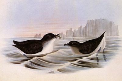 Common Diving Petrel, Pelecanoides Urinatrix