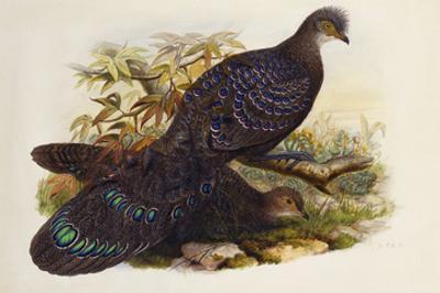 Grey Peacock Pheasant (Polyplectron Chinquis)