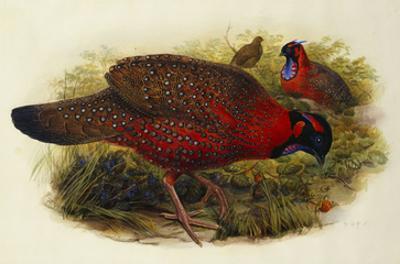 Satyr Tragopan (Ceriornis Satyra) Henry Constantine Richter (1821-1902)