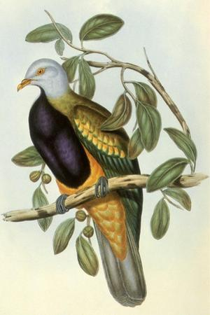 Wompoo Pigeon or Magnificent Fruit Pigeon