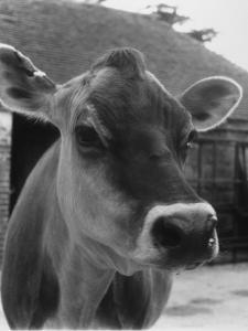 Close-Up of a Cow's Head, Probably of the Jersey Breed by Henry Grant