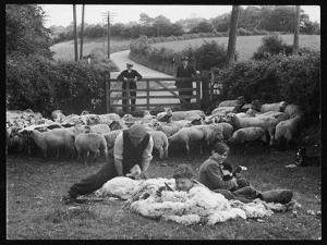 Shearing Sheep, Wales by Henry Grant