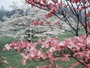 Flowering Dogwood by Henry Groskinsky