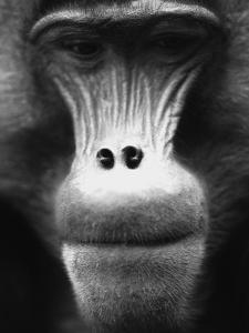 Ape Face by Henry Horenstein