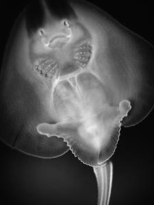 Bottom View of a Stingray by Henry Horenstein