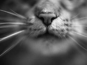 Cat's Nose and Whiskers by Henry Horenstein