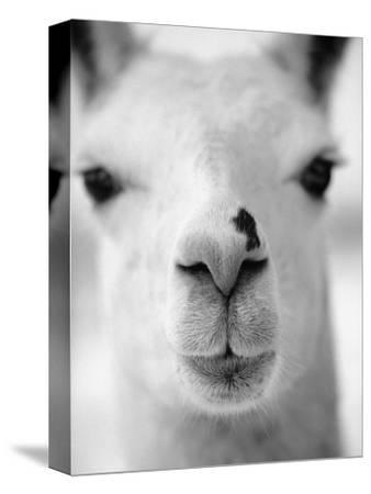 Close-Up of Alpaca's Nose