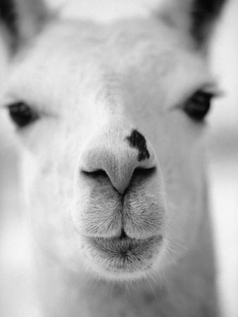 Close-Up of Alpaca's Nose by Henry Horenstein