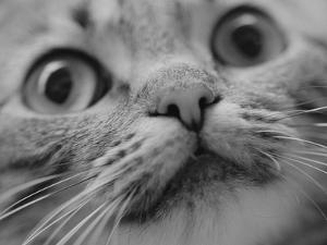 Close Up of Cat's Face by Henry Horenstein