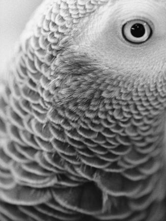 Close-up of Feathers and Eye of an African Grey Parrot by Henry Horenstein