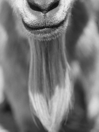 Close-up View of a Goats Beard by Henry Horenstein