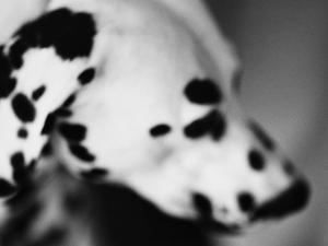 Dalmatian Dog by Henry Horenstein