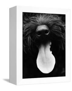 Dog Panting by Henry Horenstein