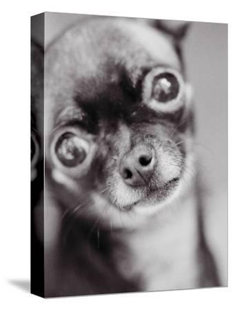 Face of a Chihuahua