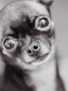Face of a Chihuahua by Henry Horenstein