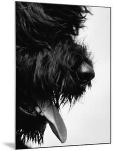 Furry Dog Panting by Henry Horenstein
