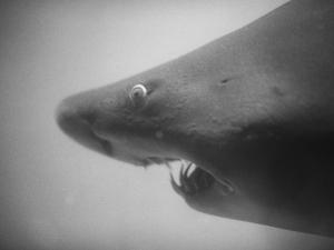 Head of a Shark by Henry Horenstein