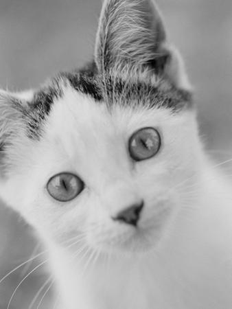 Head of Cat by Henry Horenstein