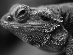 Head of Lizard by Henry Horenstein
