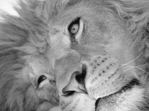 Lion's Face by Henry Horenstein