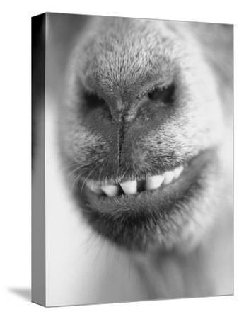 Mouth and Nose of a Goat