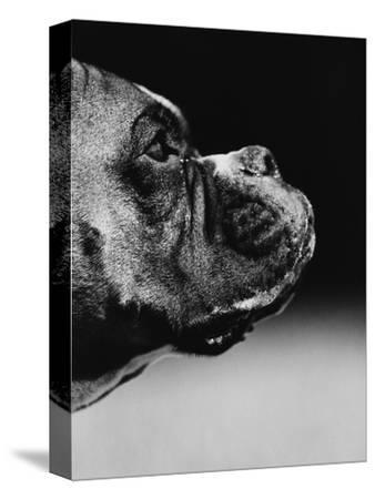 Profile of a Boxer