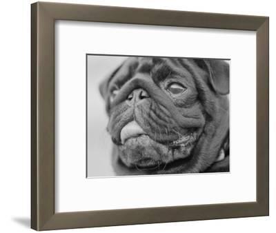 Pug Dog's Face