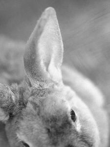 Rabbit's Ear by Henry Horenstein