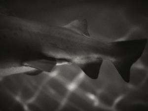 Shark Dorsal Fin by Henry Horenstein