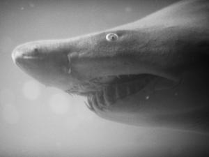 Shark Mouth by Henry Horenstein