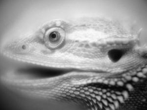 Side of Iguana's Face by Henry Horenstein