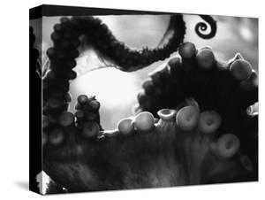 Tentacles of Octopus by Henry Horenstein