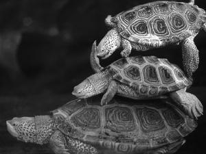 Turtles Underwater by Henry Horenstein