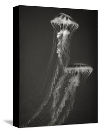 Two Jellyfish