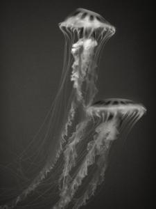 Two Jellyfish by Henry Horenstein