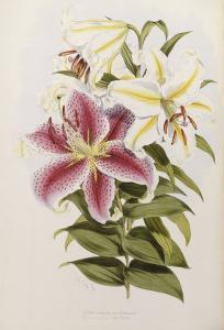 A Monograph of the Genus Lilium, Late 19th Century by Henry John Elwes