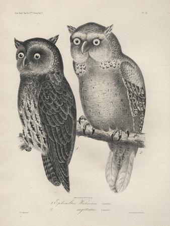 1. Ephialtes Watsonii, 2. (Ephialtes) Sagittatus, Litho by J.T. Bowen, 1850