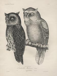 1. Ephialtes Watsonii, 2. (Ephialtes) Sagittatus, Litho by J.T. Bowen, 1850 by Henry Louis Stephens