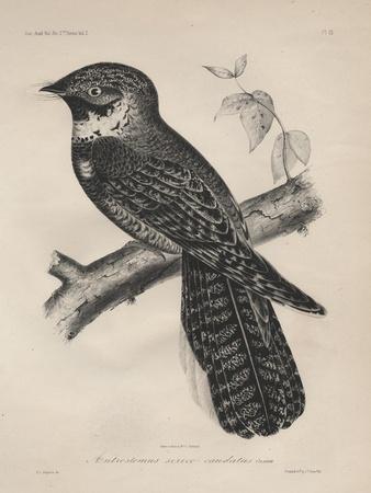 Antrostomus Serico-Caudatus, 1850