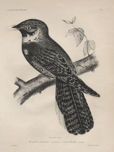 Antrostomus Serico-Caudatus, 1850 by Henry Louis Stephens