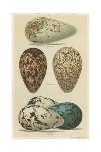 Antique Bird Egg Study I by Henry Seebohm