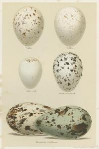 Antique Bird Egg Study II by Henry Seebohm