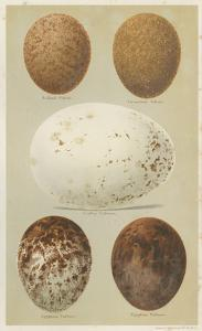 Antique Bird Egg Study III by Henry Seebohm