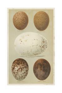 Antique Bird Egg Study III by Henry Seebohm