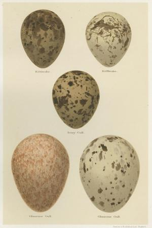 Antique Bird Egg Study IV by Henry Seebohm