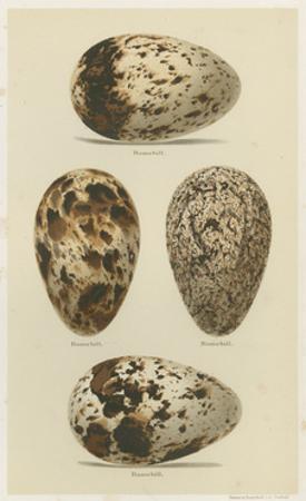 Antique Bird Egg Study VI by Henry Seebohm