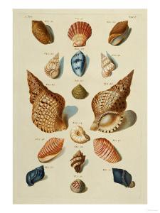 A Selection of Seashells, 1758 by Henry Thomas Alken