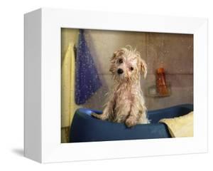 Little Wet Maltese in Bath Tub by Henryk T^ Kaiser