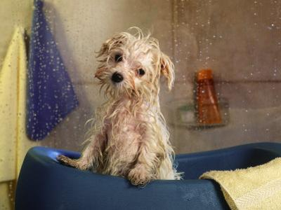 Little Wet Maltese in Bath Tub by Henryk T^ Kaiser